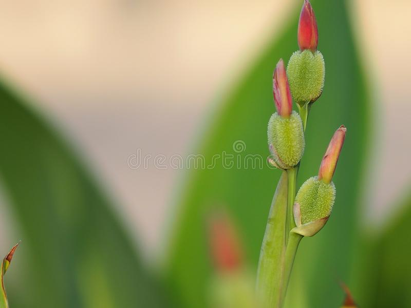 Canna Flower bud on blur background space for write. Closeup canna Flower bud on blur background space Green color for write stock image