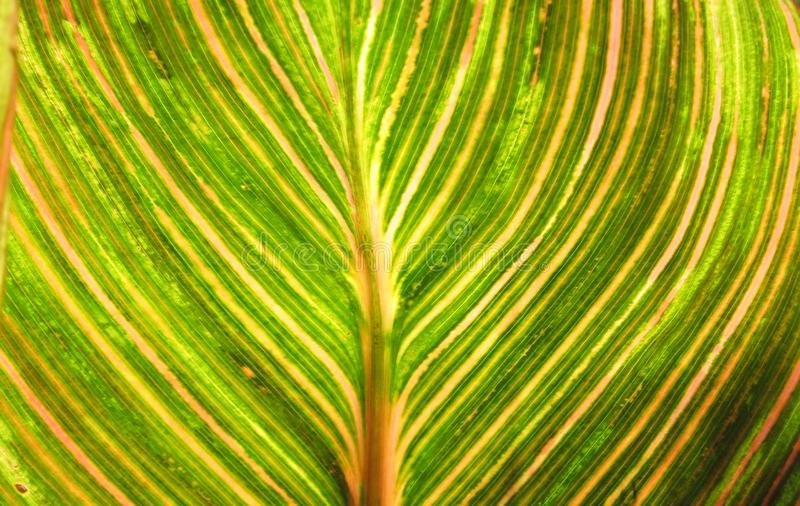 Canna foliage close up green and pink striped leaf royalty free stock image