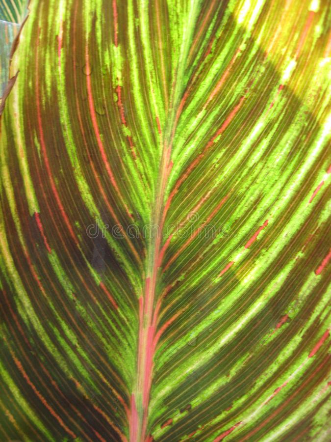 Download Canna Foliage Close Up Red And Green Striped Leaf Stock Image - Image: 99547533
