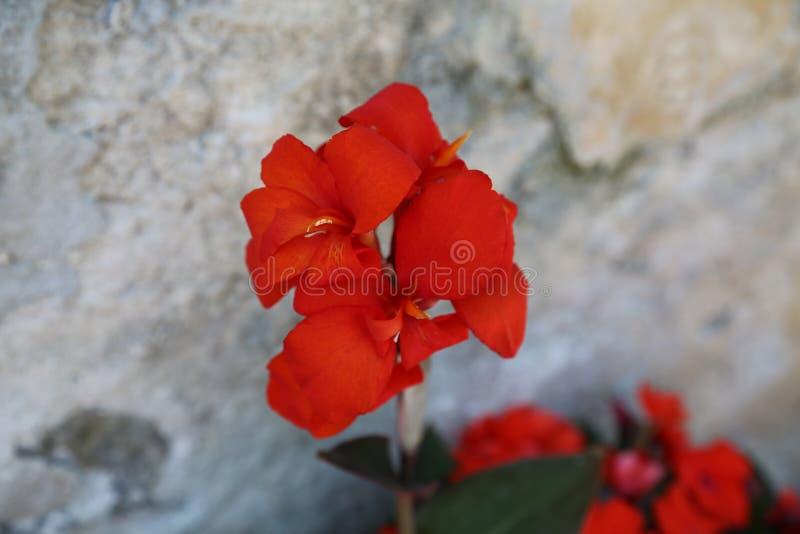 Canna-Lilien-Blumenrot auf grauem Hintergrund stockfoto