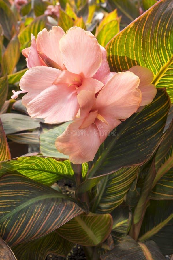 Canna lilja royaltyfria foton