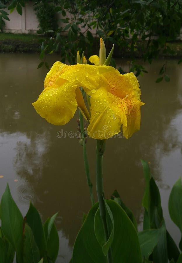 Canna lilly gulingblomma royaltyfria bilder