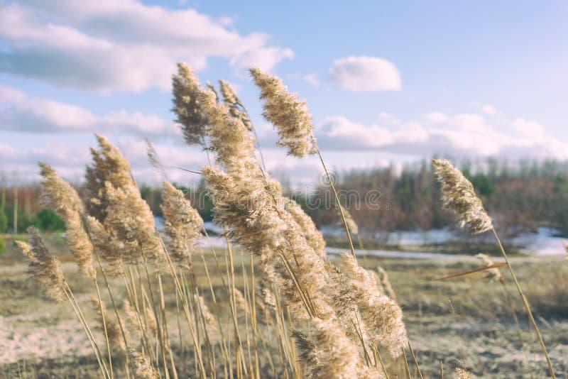 Canna in molla delle dune fotografia stock libera da diritti