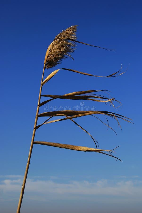 Canna nel vento immagini stock
