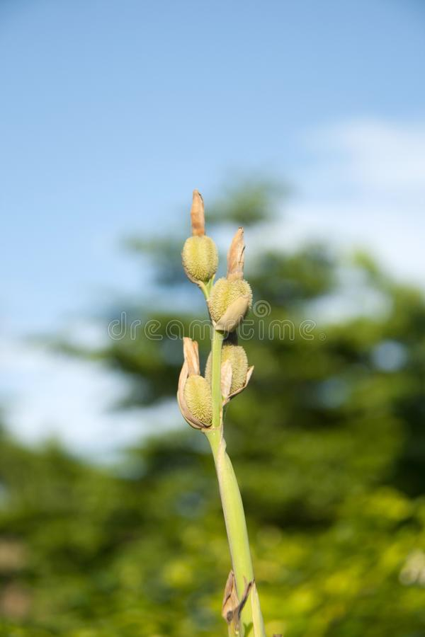 Canna seed pod on the sunlight with green tree and blue sky background. stock photos