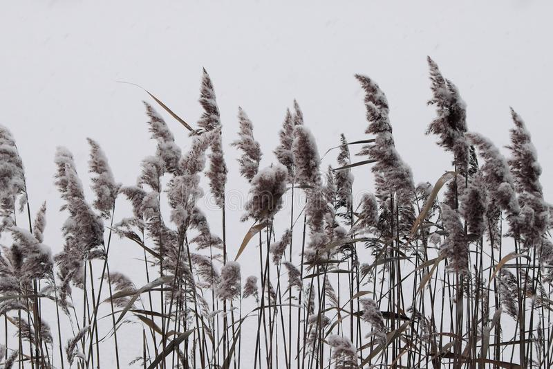 Canna su fondo bianco fotografia stock libera da diritti