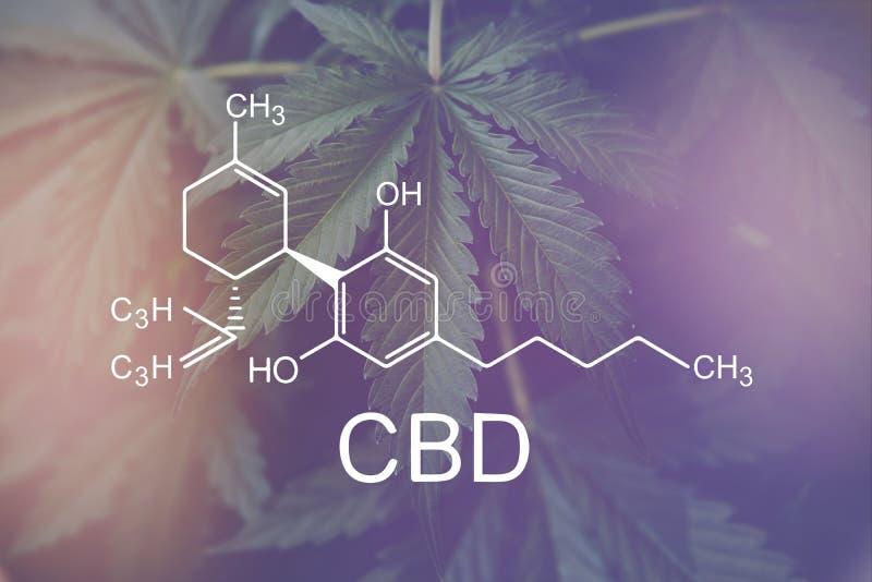 Cannabidiol формулы CBD Растя марихуана, дело despancery медицинская марихуана, элементы CBD и THC в коноплях стоковые изображения rf