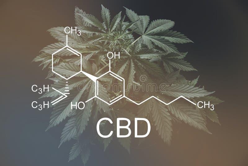 Cannabidiol формулы CBD cannabinoids и здоровье, медицинская марихуана, индустрия пеньки, дело despancery стоковая фотография
