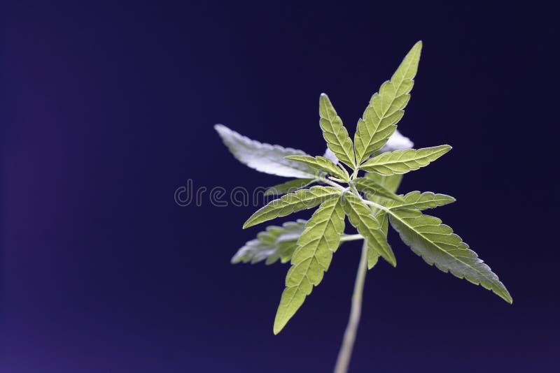 Cannabis royalty-vrije stock afbeeldingen