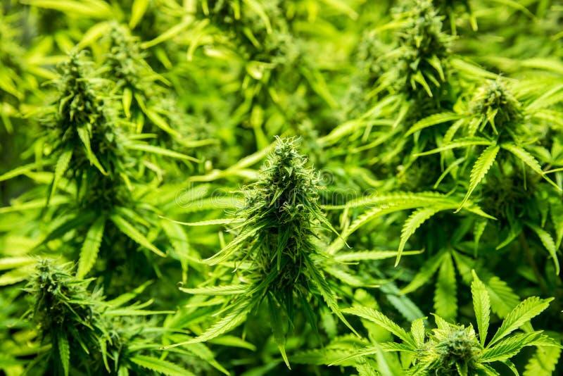 Cannabis binnencultuur - de Cannabis kweekt doos royalty-vrije stock afbeeldingen