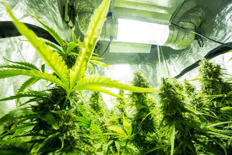 Cannabis binnencultuur - de Cannabis kweekt doos stock fotografie