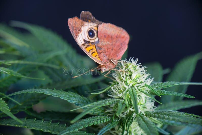 Cannabis blommar och fjärilen - blommande marijuanaväxt med ea royaltyfri foto