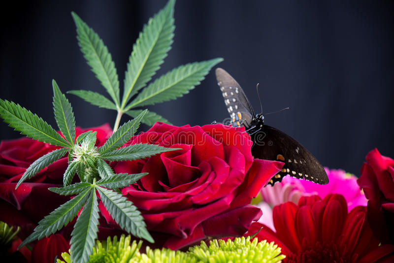 Cannabis bouquet with red roses, marijuana leaves and butterfly. Macro detail of cannabis bouquet with red roses, green marijuana leaves and yellowtail butterfly royalty free stock photo