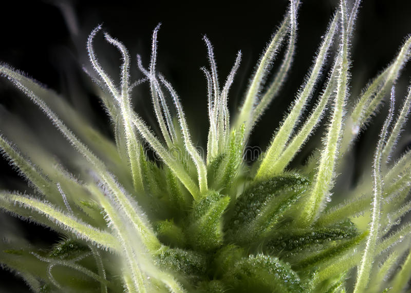 Download Cannabis Bud Thousand Oaks Marijuana Strain With Visible Hairs Stock Image - Image of empty, background: 84929065