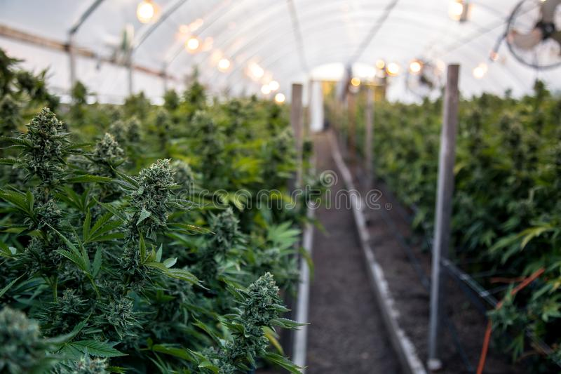 Cannabis buds in greenhouse. A close up of the marijuana farm industry. Beautiful macro and micro shots. Green house, outdoor, indoor plants. Harvesting cannabis stock image