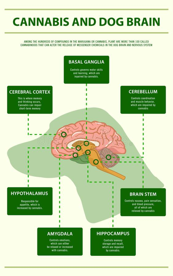 Cannabis and dog brain vertical infographic royalty free stock image