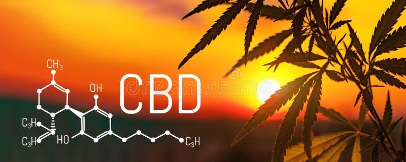 Cannabis e marijuana de CBD Produtos do cânhamo do óleo Fórmula química de Cannabidiol Produtos superiores crescentes do cannabis ilustração do vetor
