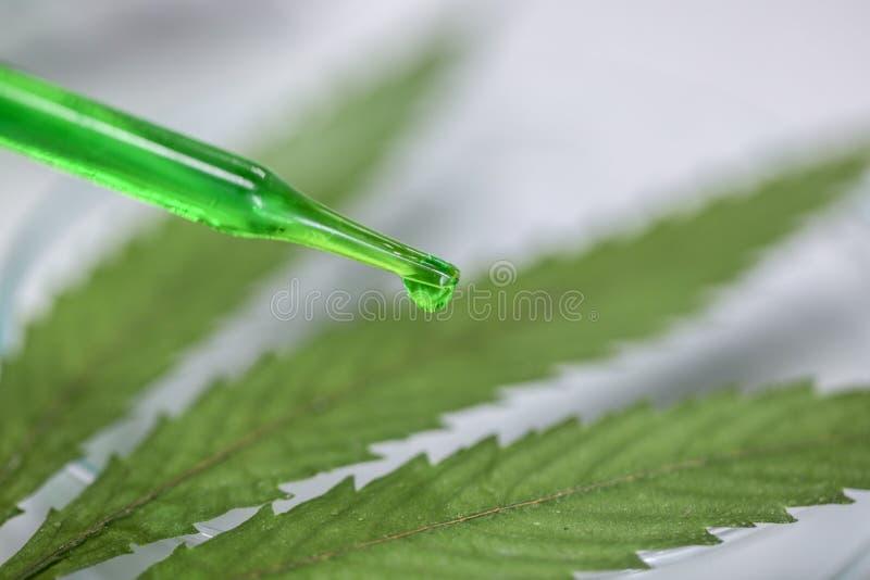 Cannabis förgiftar, analys av cannabis i laboratorium royaltyfria bilder