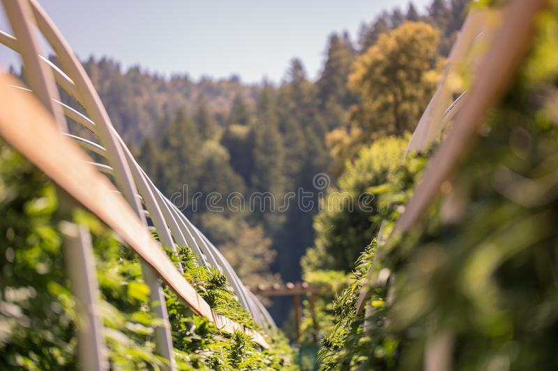 Cannabis farm rows in the mountains. A close up of the marijuana farm industry. Beautiful macro and micro shots. Green house, outdoor, indoor plants. Harvesting stock photo