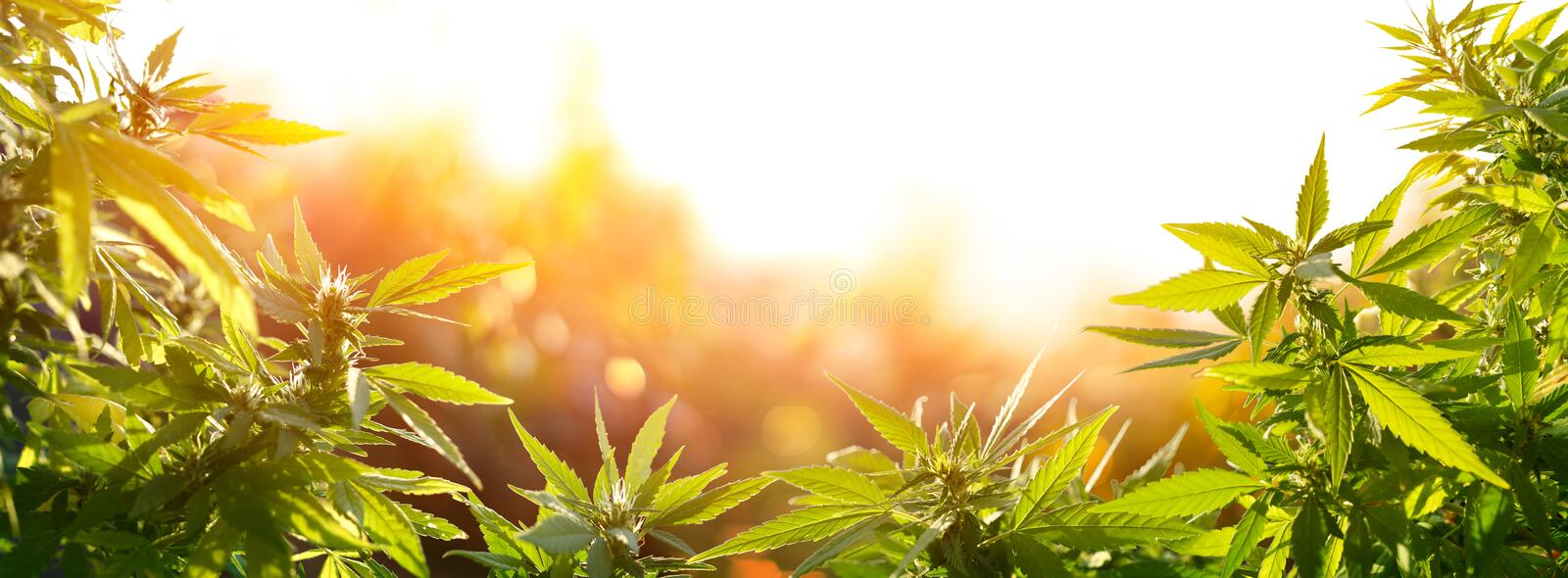 Cannabis With Flowers At Sunset - Sativa Herb royalty free stock photo