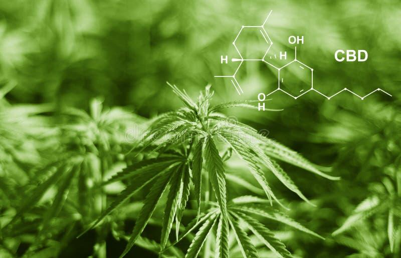 Cannabis of the formula CBD cannabidiol. Concept of using marijuana for medicinal purposes.  royalty free stock photos