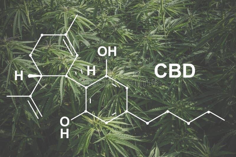 Cannabis of the formula CBD cannabidiol. Concept of using marijuana for medicinal purposes.  royalty free stock images