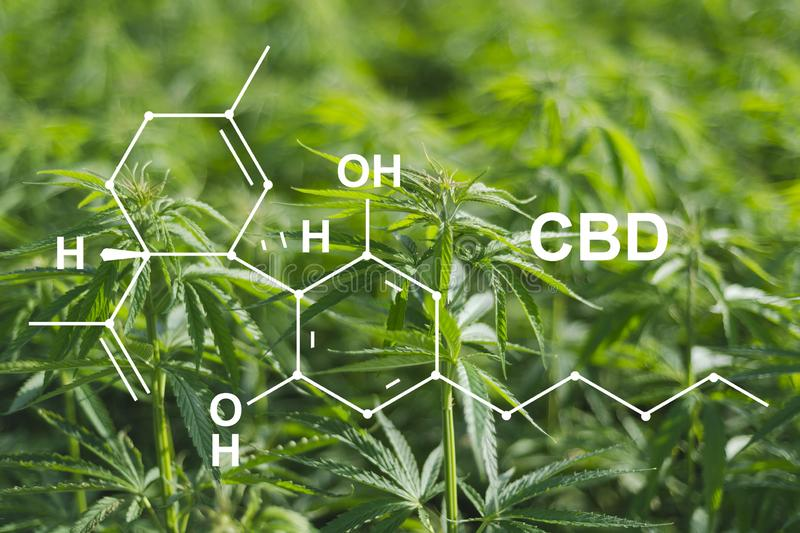 Cannabis of the formula CBD cannabidiol. Concept of using marijuana for medicinal purposes.  stock photography