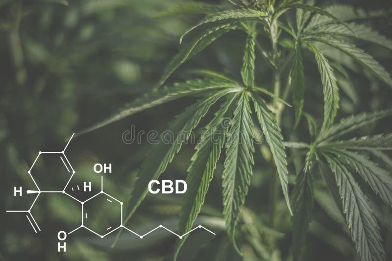 Cannabis of the formula CBD cannabidiol. Concept of using marijuana for medicinal purposes.  stock images