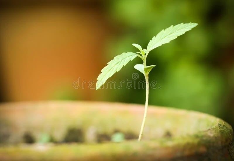 Cannabis indica ou planta de marijuana imagem de stock royalty free