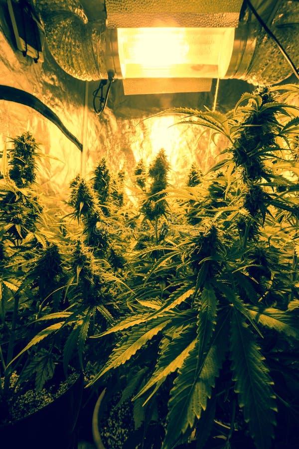 Cannabis indoor cultivation - Cannabis grow box. Cannabis cultivation indoor growing, Marijuana plants in grow box royalty free stock photo