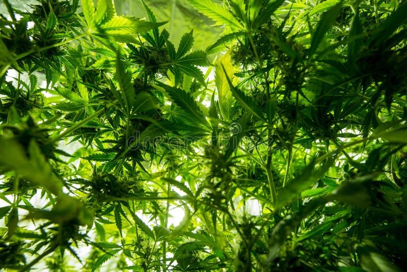 Cannabis indoor cultivation - Cannabis grow box. Cannabis cultivation indoor growing, Marijuana plants in grow box stock photos