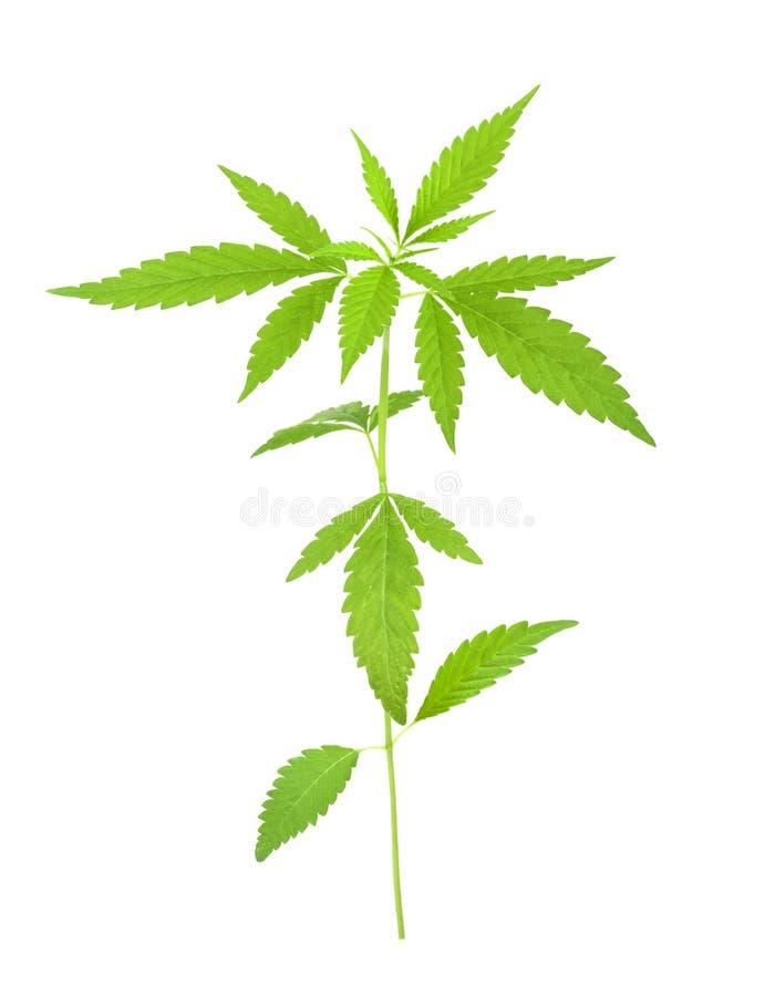 Cannabis l sativa pianta su un fondo bianco fotografia stock