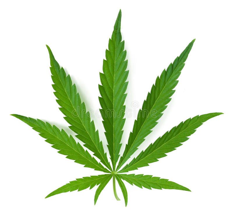 Cannabis leaf. Isolated on a white background royalty free stock photography
