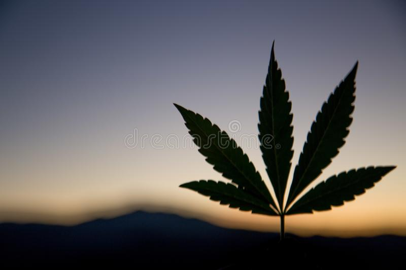 Cannabis leaf in the evening. A close up of the marijuana farm industry. Beautiful macro and micro shots. Green house, outdoor, indoor plants. Harvesting royalty free stock photography