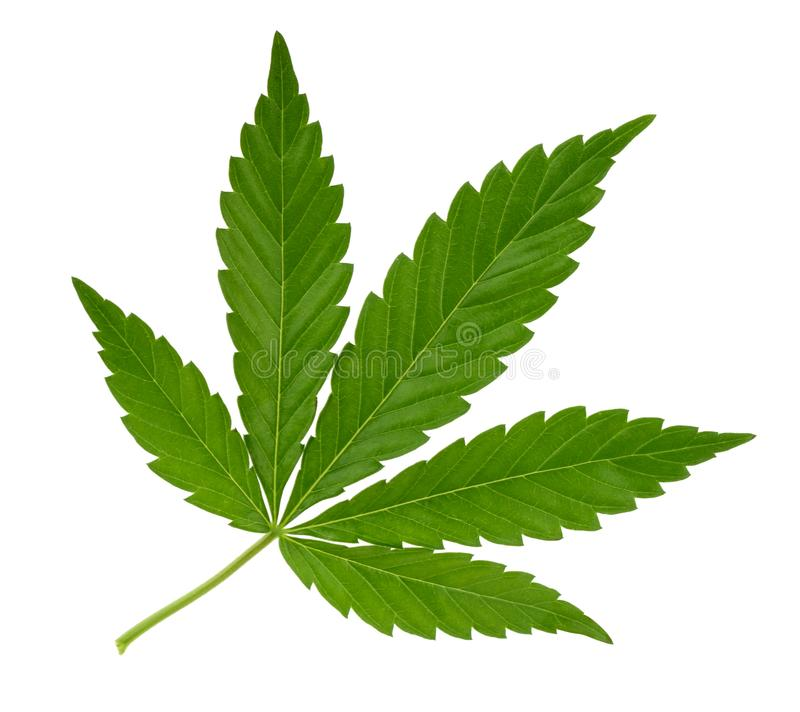 Cannabis leaf isolated on white without shadow stock photography