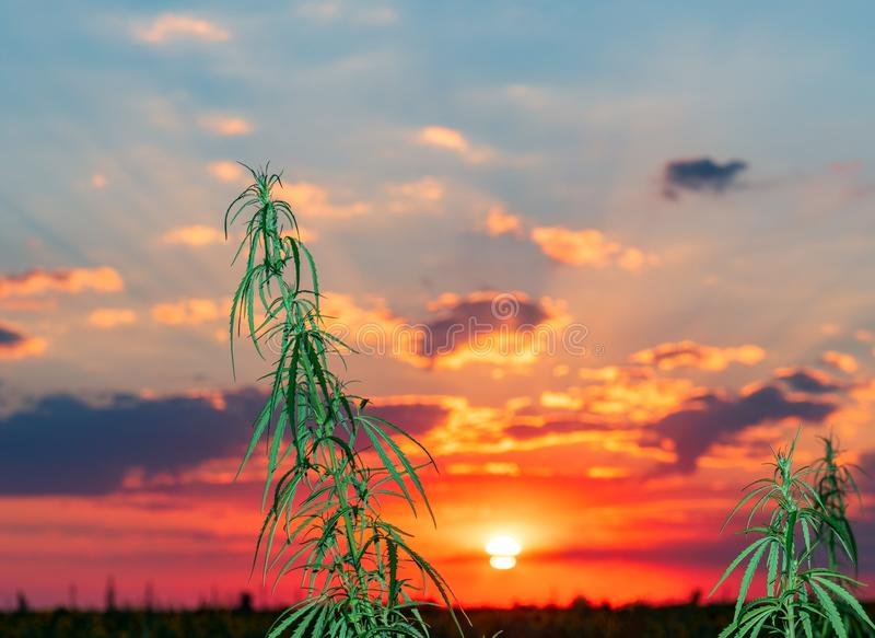 Cannabis leaf, medical marijuana. Cannabis flowers and seeds in green field with back light. Marijuana plant leaves growing high royalty free stock images