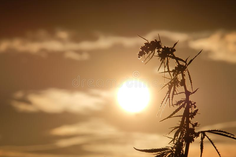 Silhouettes the tops of wild hemp with inflorescence and seeds against the beautiful evening sky. Cannabis leaned toward the sun. Cannabis leaned toward the sun stock image