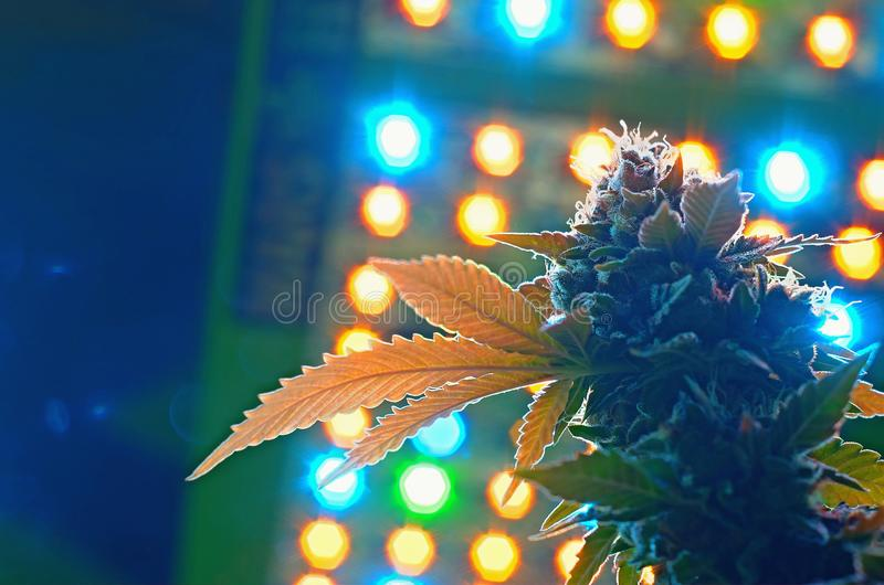 Cannabis and led grow lights. Female cannabis Cola under full spectrum led grow lights royalty free stock image