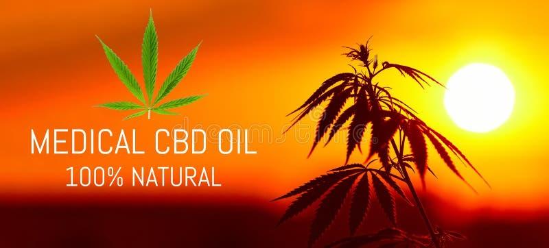Cannabis médical de la meilleure qualité croissant, produits de chanvre d'huile de CBD Marijuana naturelle Recette de cannabis po image libre de droits