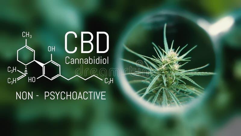 Cannabis médical et formule chimique d'huile de Cannabidiol CBD Produits de la meilleure qualité croissants de marijuana Influenc photographie stock