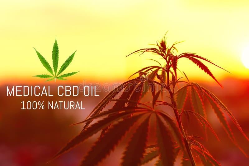Cannabis médico superior crescente, produtos do cânhamo do óleo de CBD Marijuana natural fotografia de stock royalty free