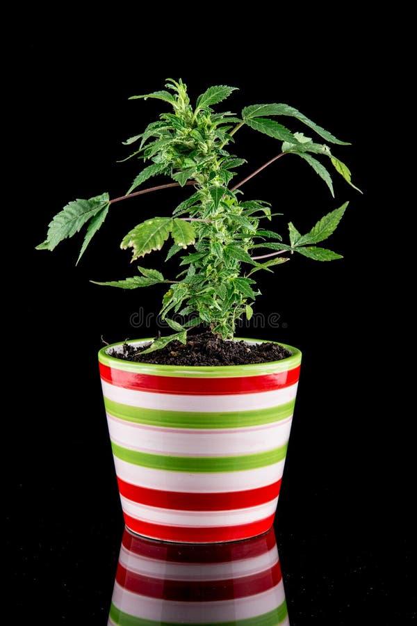 Cannabis royalty free stock image