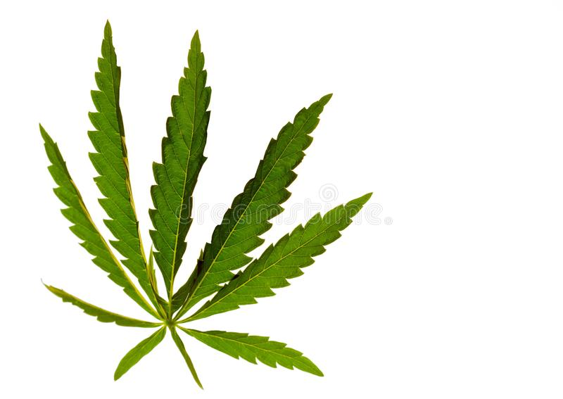 Cannabis leaf marijuana on an isolated background directed light at the object royalty free stock photos