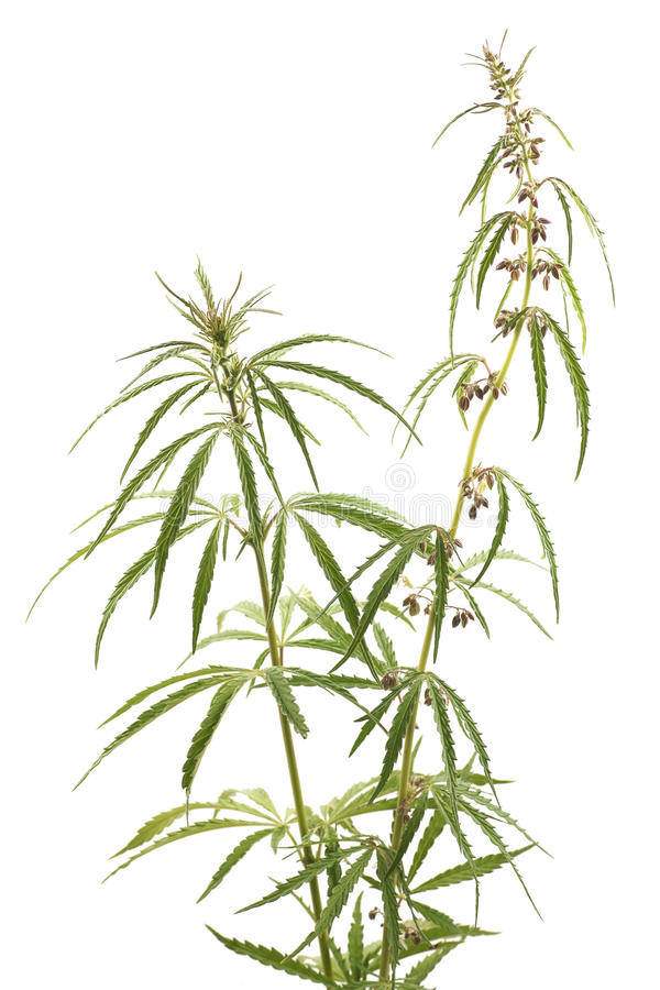 Cannabis, marijuana, piante su un fondo bianco fotografia stock