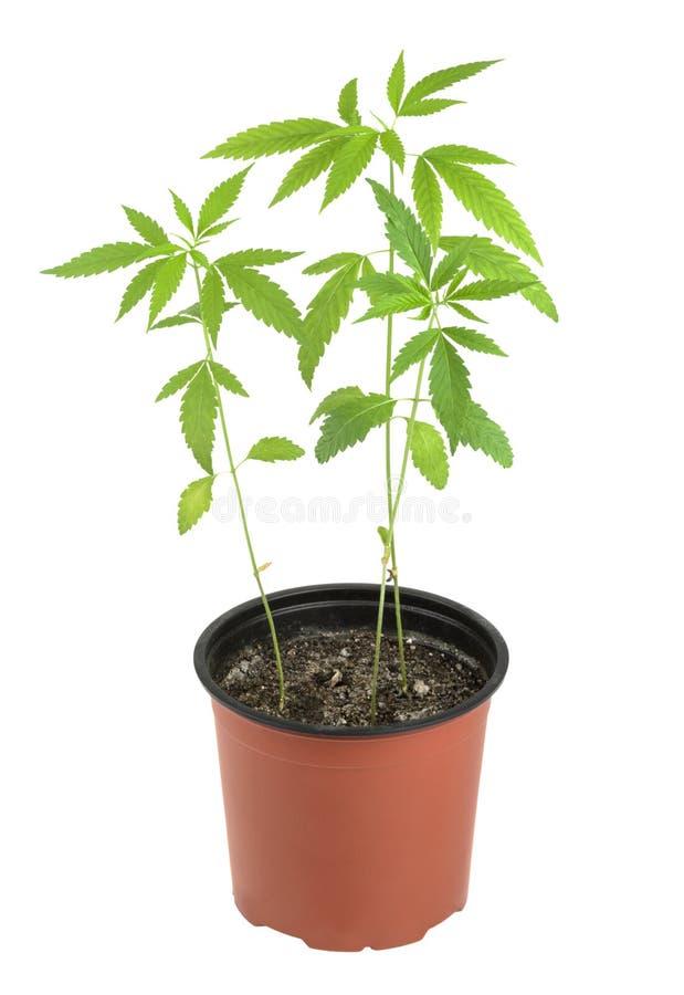 Cannabis, marijuana, plantas em um fundo branco imagem de stock royalty free