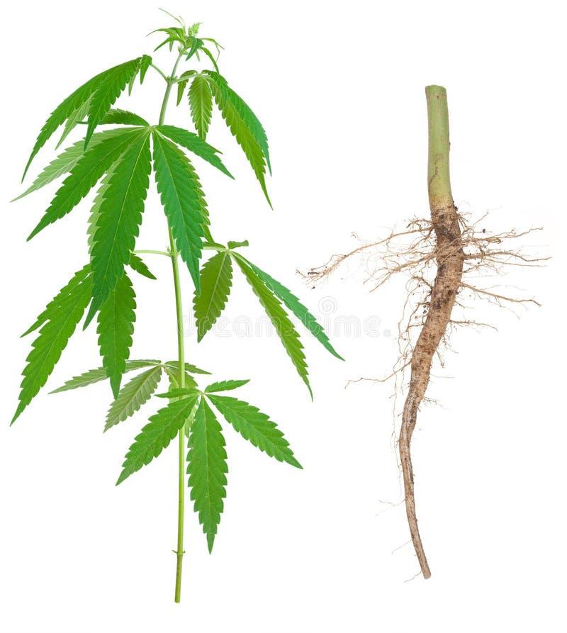 Cannabis met een wortel stock afbeeldingen