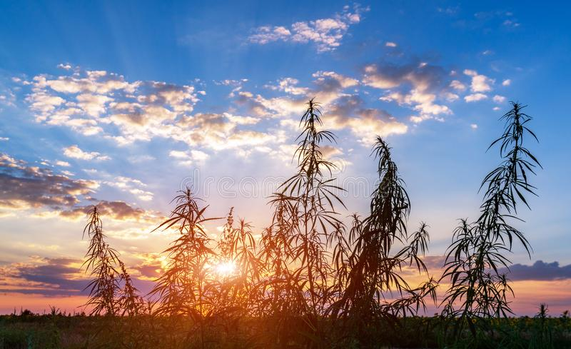 Cannabis na luz dourada do verão, fundo da marijuana fotos de stock royalty free