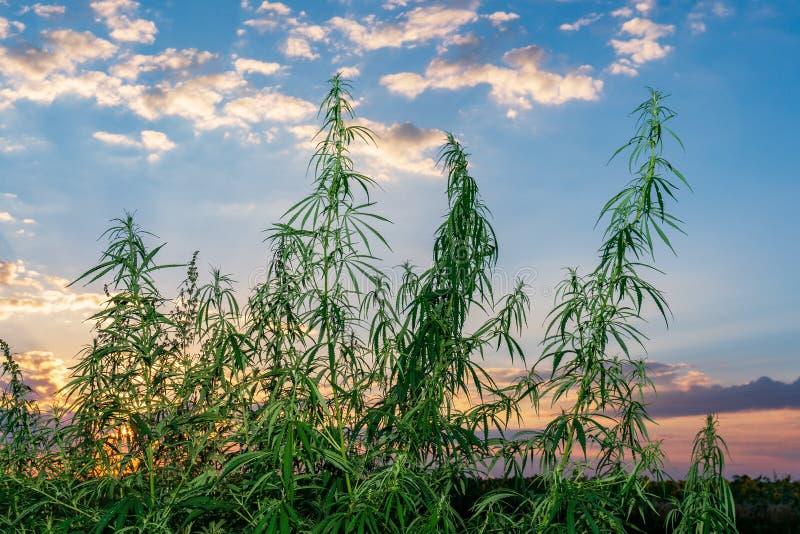 Cannabis na luz dourada do verão, fundo da marijuana fotografia de stock royalty free