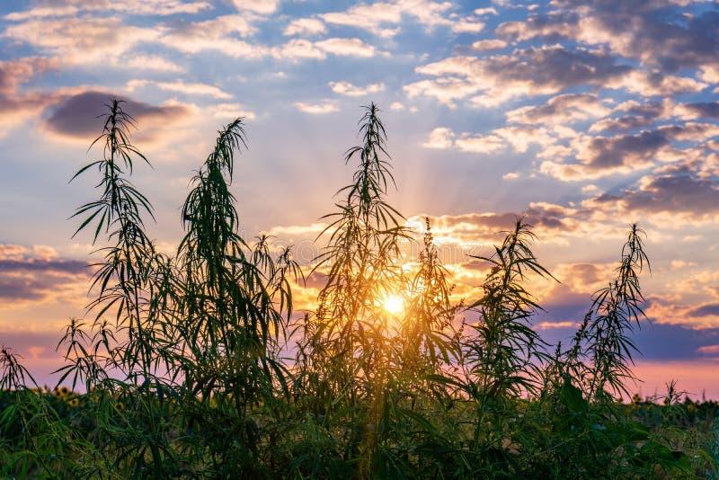 Cannabis na luz dourada do verão, fundo da marijuana imagem de stock royalty free