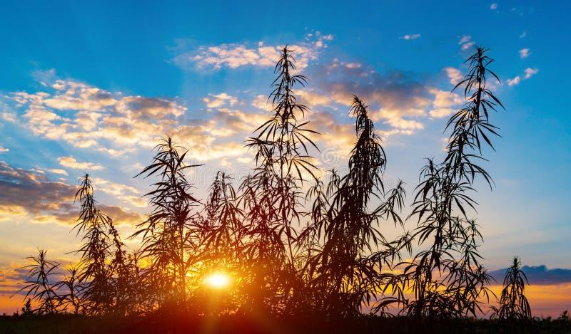 Cannabis na luz dourada do verão, fundo da marijuana imagem de stock